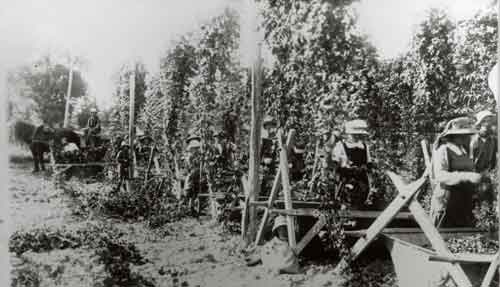 Hop picking, Heine family farm in Nelson run by Joseph Heine, youngest son of J. W. C. Heine who, along with Johann 
